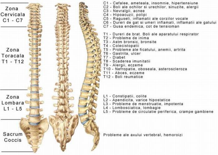 organele interne ale cainelui